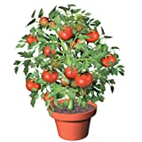 Grow Your Own - Flower Pot Tomatoes (set of 3)