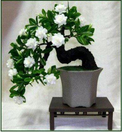 Thanatorn seeds store 100 Gardenia Seeds (Cape Jasmine )-DIY Home Garden Potted Bonsai