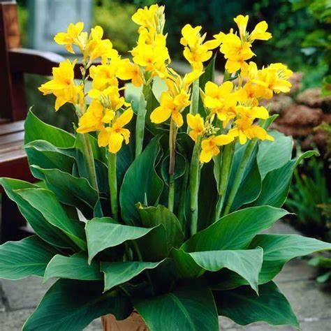 Yellow Cannas Bulb-1 Bulb-
