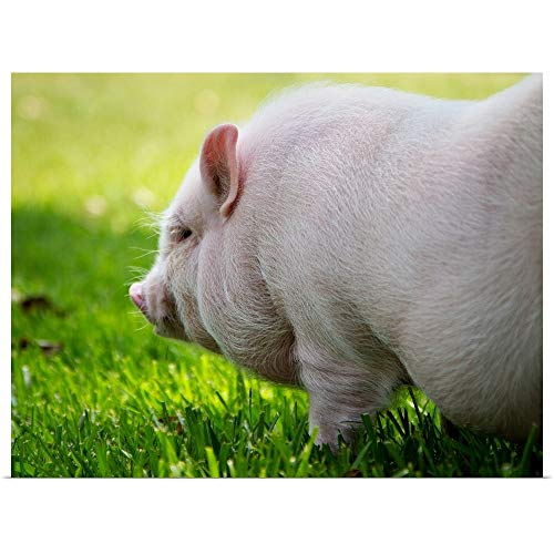GREATBIGCANVAS Poster Print Entitled Young Vietnamese Potbellied Pig Playing in Grass on Sunny Day. by 40