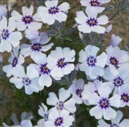 (Phlox SUBULATA 'North Hills' - Creeping Phlox. Perennial. Plant)