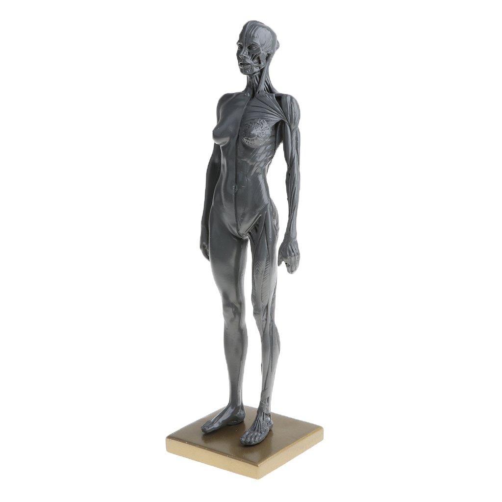 Fenteer 11 Inch Human Anatomy Muscle Skeleton Model Art Anatomy
