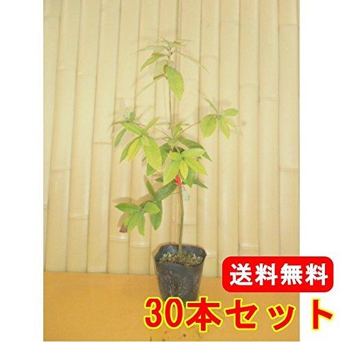 【ノーブランド品】イチイガシ樹高0.5m前後10.5cmポット【30本セット】 B06XD99GD9