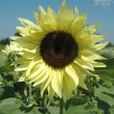 Sunflower Buttercream Flower Seeds (250)