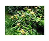 4X Hedychium Ellipticum Seeds Shrub Plant Schmetterlingsingwer # 269