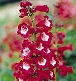 20+ Red/ White Penstemon Hartwegii Flower Seeds