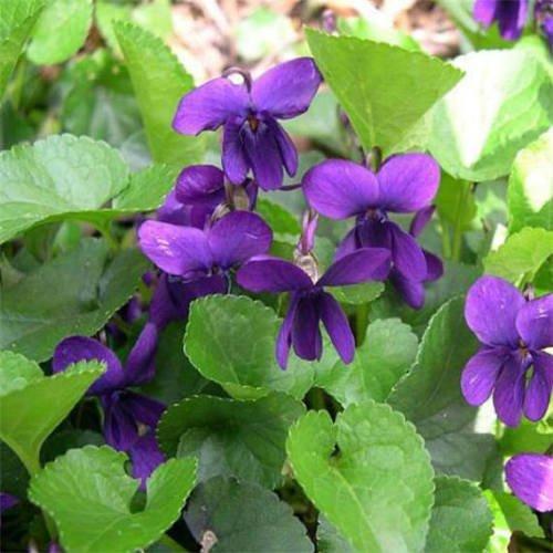 Viola Flower (25+ VIOLA QUEEN CHARLOTTE FLOWER SEEDS / VIOLET / PERENNIAL / FRAGRANT / EASY)