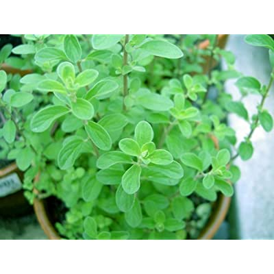 "Clovers Garden Sweet Marjoram Herb Plants- Non GMO- Two (2) Live Plants - Not Seeds -Each 4""-7\""Tall- in 3.5 Inch Pots - Includes Clovers Garden Copyrighted Plant Care Guide : Garden & Outdoor [5Bkhe0800299]"
