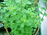 "Clovers Garden Sweet Marjoram Herb Plants- Non GMO- Two (2) Live Plants - Not Seeds -Each 4""-7""tall- in 3.5 Inch Pots - Includes Clovers Garden Copyrighted Plant Care Guide"