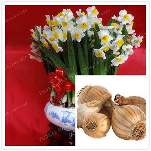 Daffodil Bulbs Ranunculus Bulbs True Color Mixing Narcissus Bulbs,Daffodil Bulbs Bonsai Aquatic Plants Double Petals Absorption Radiation Potted Plant -2 Bulb (Mix Color)