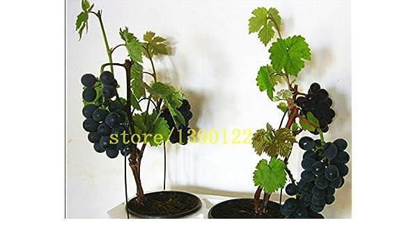 semillas de uva negro bonsai semillas de uva de frutas 50 ...