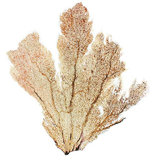 Slice of Goodness Natural Decorative Dried Coral Sea Fans for DIY Home Decor Art Projects (Set of 1 Trimmed Sea Fan, ()