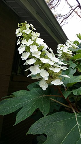(1 Gallon) Oakleaf Hydrangea- Gorgeous Native Plant,Huge Oak Like Leaf, Grand White panicles- one of The Few Hydrangeas Native to US