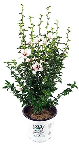 Proven Winners – Hibiscus syriacus Lil' Kim (Rose of Sharon) Shrub, white flowers w/red eye, #3 – Size Container