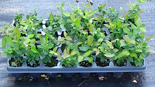 10 BLUEBERRY BUSH PLANTS MIXED VARIETIES SUITABLE FOR YOUR CLIMATE ZONE-STATE - Priority Mail International Time