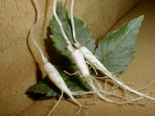 25 AMERICAN GINSENG ROOTS woods grown 1 year plants. Grow plant with seed