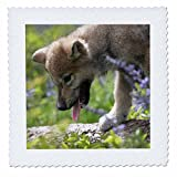 3dRose Danita Delimont - Baby Animals - Gray wolf pup, Canis lupus, panting, Montana - 16x16 inch quilt square (qs_259637_6)