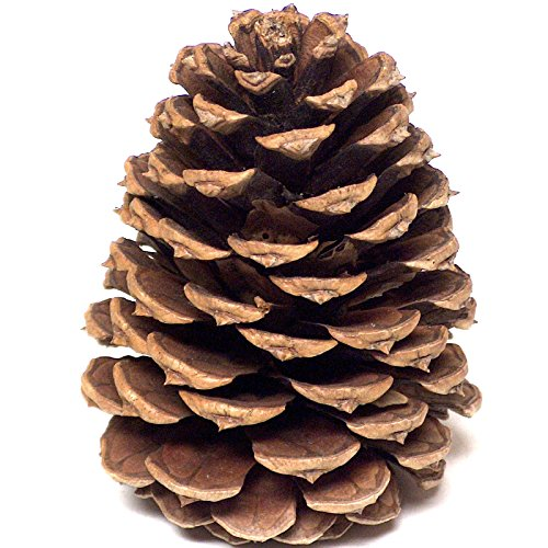 Home RV Pine Cones - The Pacific Ponderosa Pine Cone Creates Indoor Outdoor Vase Filler Decorations - 16 New 3 To 4.5 Inch Tall Add Mother Natures Timeless Beauty And Natural Opening Closing Ability - Oval Craft Wreath