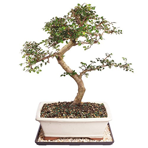 Tree Bonsai Chinese Elm (Brussel's Live Chinese Elm Outdoor Bonsai Tree - 14 Years Old; 16