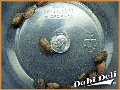 Dubia Roaches: Medium (3/4'') - 66 Grams (Average Count 200) by Dubi Deli