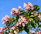 BEAUTY BUSH - 30 seeds - Kolkwitzia amabilis Bonsai or shrub Linnaea amabilis