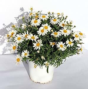 MARGARITA - ARGYRANTHEMUM DE COLOR VARIADO. ¡¡¡PLANTA NATURAL ¡¡¡ altura: 17 cm aproximado, contenedor: 13 cm. ENVIOS SOLO PENINSULA