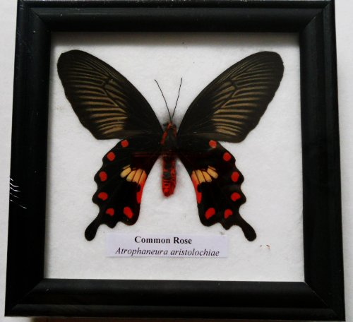 Butterfly Display (RARE FRAMED REAL BEAUTIFUL COMMON ROSE BUTTERFLY DISPLAY INSECT TAXIDERMY 5