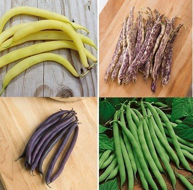 David's Garden Seeds Collection Set Bean Bush SL555 (Multi) 4 Varieties 400 Seeds (Open Pollinated, Heirloom, - Collection Bean