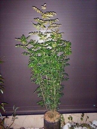 シマトネリコ 7本以上の株立ち 全長170CM 常緑樹 B075PTJDBD