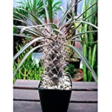 Potseed Pachypodium geayi Seeds - 10 Seeds
