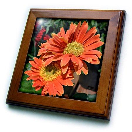 3dRose ft_22708_1 Orange Gerbera Daisies Framed Tile, 8 by 8-Inch