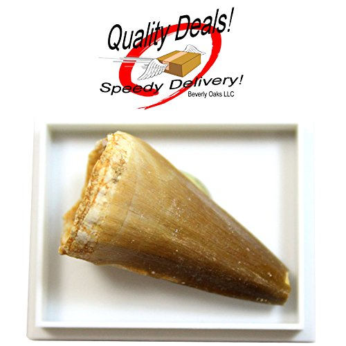 1 (ONE) Large Fossilized Mosasaurus tooth in Museum Box Display in Red Velvet Bag with Beverly Oaks Exclusive Certificate of ()