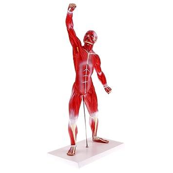 MagiDeal 1: 4 Anatomisches Modell des Menschliches Ganzer Körper ...