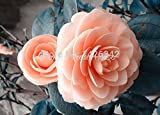 Orange pink camellia japonica flower seeds 50pcs camellia seeds bonsai sementes de flores for flower pots planters Seeds
