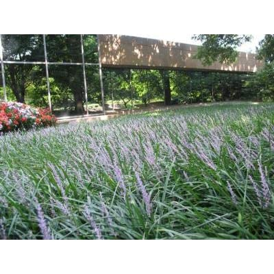 Classy Groundcovers, Liriope muscari 'Big Blue' (54 Pots, 2 1/2 inches Square) : Garden & Outdoor