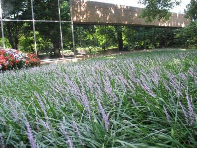 Classy Groundcovers, Liriope muscari 'Big Blue' (25 Bare Root Plants)