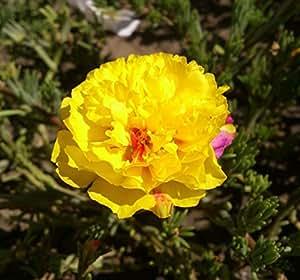 Flores semillas moss-rose grande mixt orgánicos flores Portulaca makrova amarillo semillas