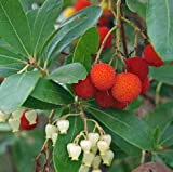 Arbutus Unedo - 25 Seeds - Strawberry Tree