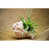 "9GreenBox - Air Plant Tillandsia Bromeliads Kit with 3"" Pink Murex Shell Holiday Gift"