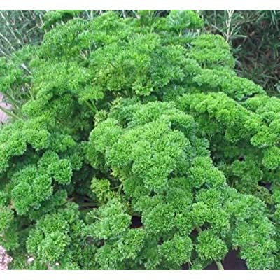 Tiyuki Parsley Seed, Moss Curled, Heirloom, Organic, Non GMO, 25+ Seeds, Parsley Seeds : Garden & Outdoor
