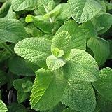 Mentha Rotundifolia - 1000 Seeds - Egyptian Mint / Apple Mint