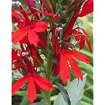 300 RED CARDINAL FLOWER LOBELIA Cardinalis Seeds