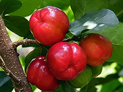 Barbados Cherry Trees Includes (4) Four Plants