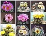 Notocactus MIX @J@ exotic Parodiacactus rare succulent cacti seed lot 2000 SEEDS