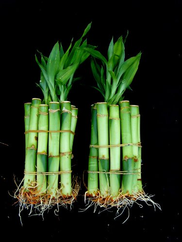 20-Stalks-of-4-Inches-Straight-Lucky-Bamboo