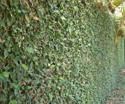Classy Groundcovers, Creeping Fig Fig Vine, Fig Ivy, Climbing Fig, Creeping Rubber Plant (25 Pots, 3 1/2 inches Square)