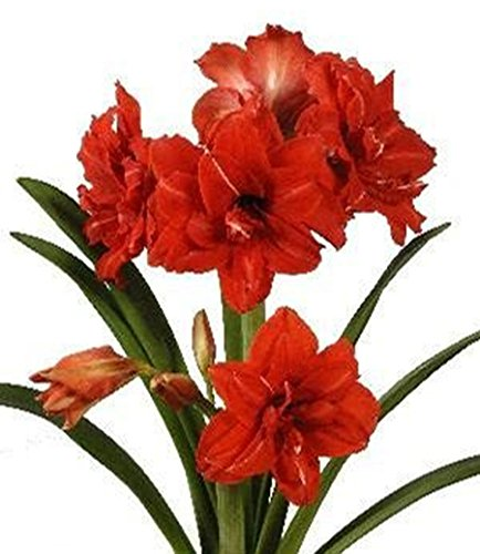 Flower Double 1 Amaryllis Bulb - Special Sale: Red Peacock Amaryllis Bulb - Double Red Amaryllis