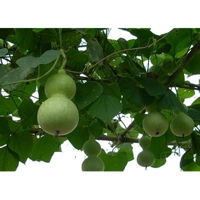 Organic Heirloom 30 Lagenaria Seeds Large Bird House Gourd Big Bottle Like Green Scoop-shaped Cucurbitaceae Vine Creeper Plant Bulk F75 : Gourds For Sale : Garden & Outdoor