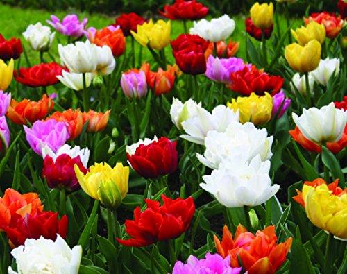Double Tulip Mixture- 45 Perennial Tulip Bulbs