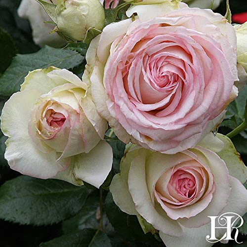 2-Pack Own-Root One Gallon Eden Climbing Roses by Heirloom Roses by Heirloom Roses (Image #4)